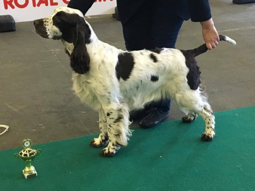 Bungee Jumper's English Springer Spaniels - News